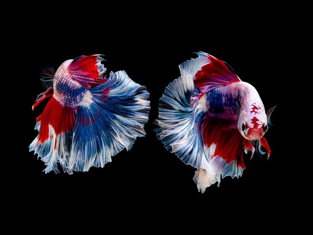 Ikan Cupang. (Foto: Freepik)