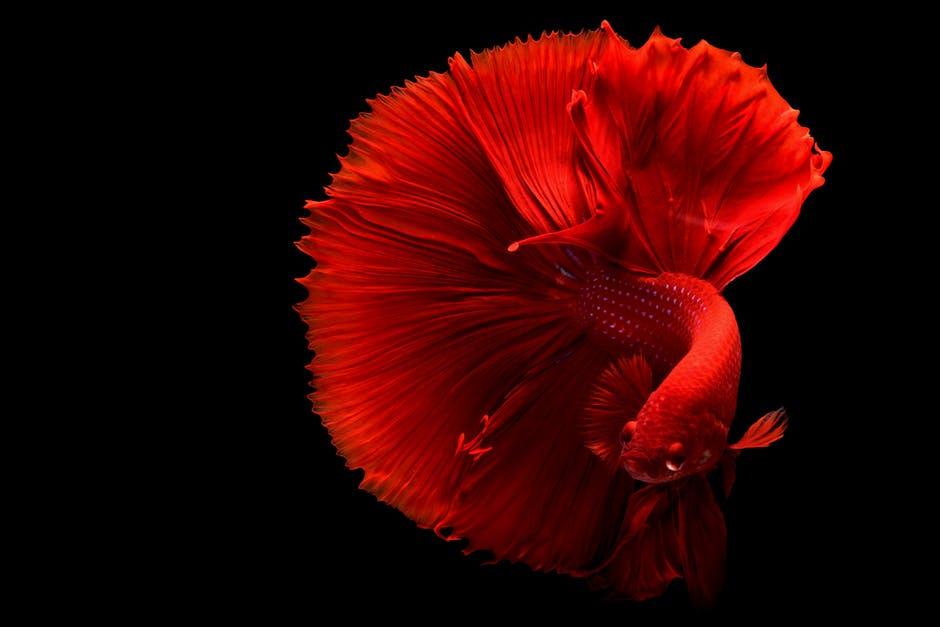 Ingin Cerahkan Warna Ikan Cupang? Yuk, Intip Rahasianya di Sini